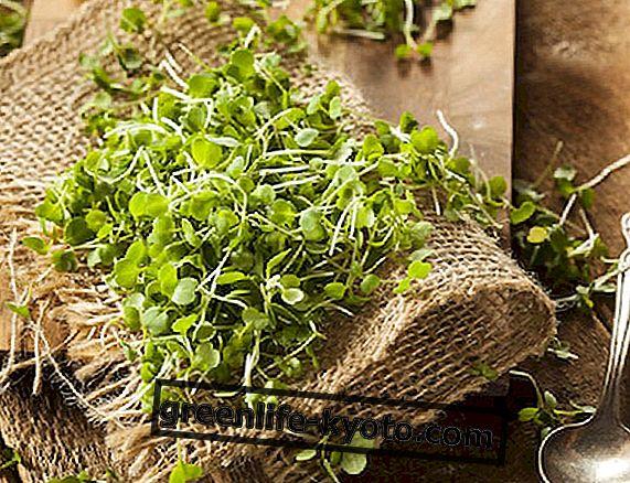 Alfalfa: bogata dopuna proteina