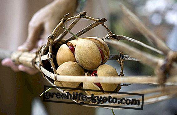 Moluccan-pähkinät: ominaisuudet ja ominaisuudet