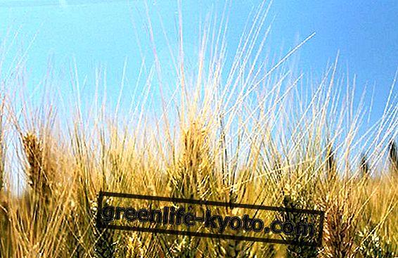 Timilia kviečiai: nuosavybė, naudojimas ir kur ją rasti