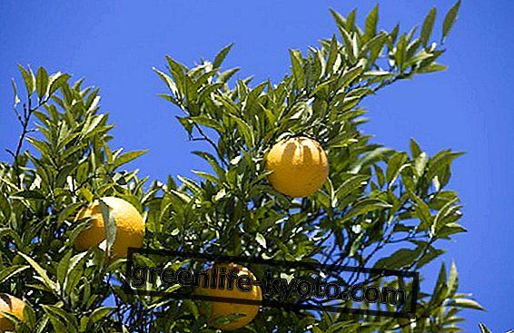 البرتقال المر والخصائص والفوائد