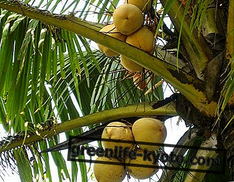 Kokoso palmių cukrus: savybės, kalorijos ir maistinės vertės