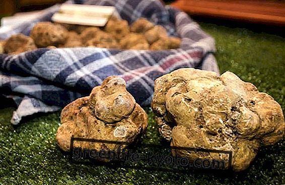 Truffle, vērtīgs rudens ēdiens