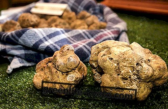 Truffle, makanan musim luruh yang berharga