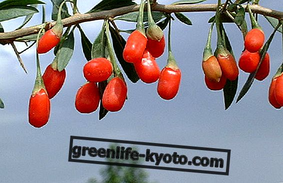Goji, de langlivede bær