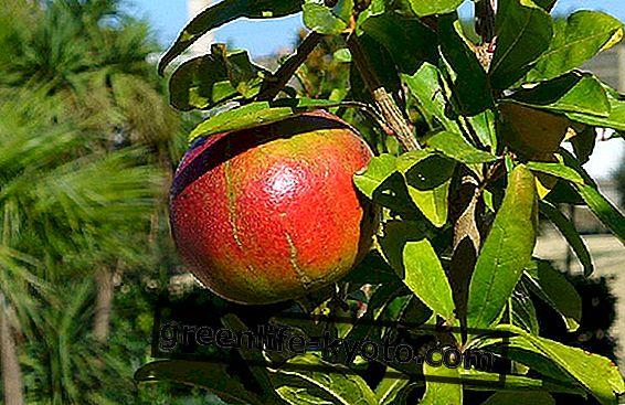 Granato savybės: sveikatos vaisius