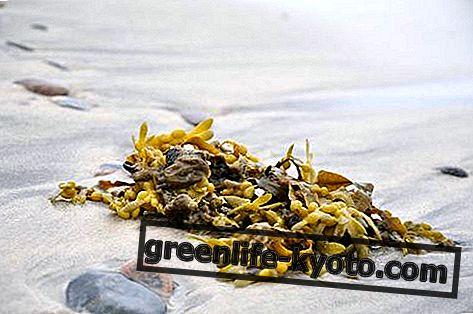 Alga fucus: propiedades, uso y contraindicaciones.