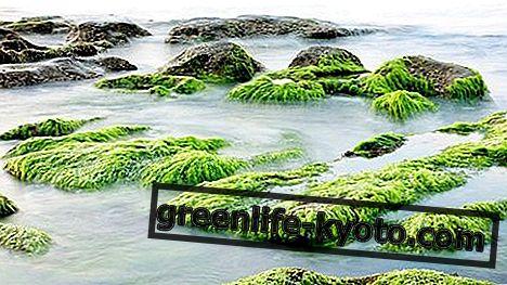Tengeri algák: tulajdonságok, használat és ellenjavallatok