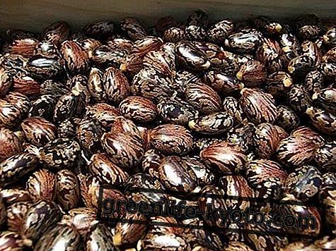 Ricínová semena, vlastnosti a způsob jejich použití