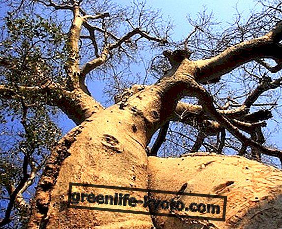 Más defensas inmunes con polvo de baobab