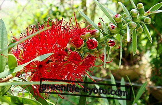 Australska cvjetna terapija, valjana potpora prehrani za mršavljenje