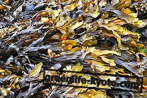 الطحالب: قائمة والخصائص والفوائد