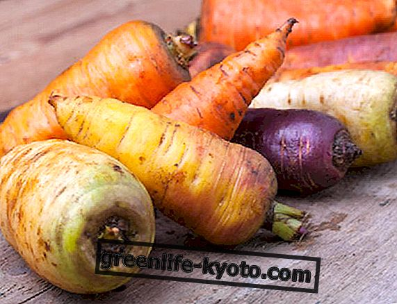 Barevné mrkve a jejich vlastnosti
