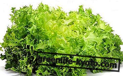 Къдрава ендива: свойства, хранителни стойности, калории