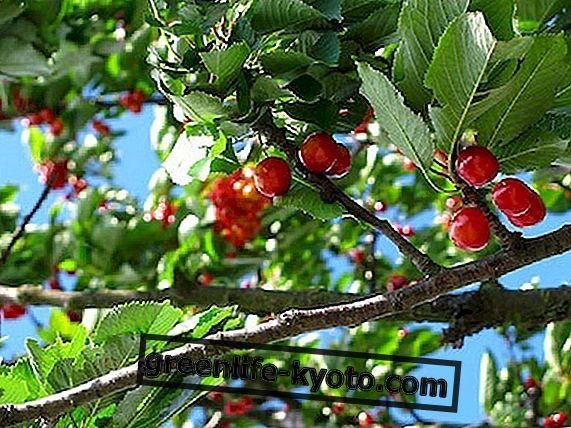 Proljetno voće, pohlepno voće