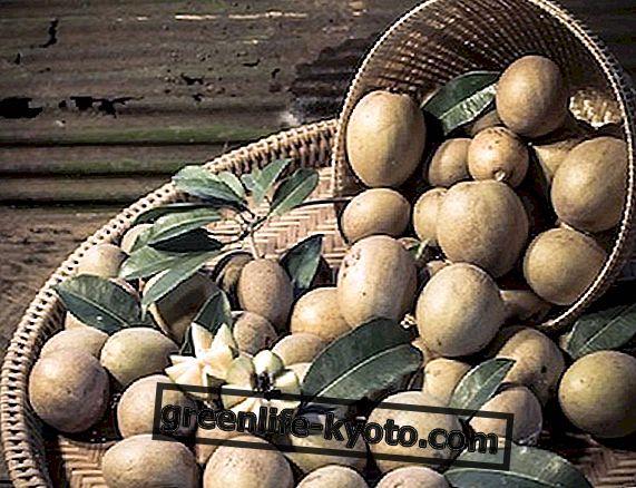 रबर के पेड़ के फल का सपोडीला, लाभ और उपयोग
