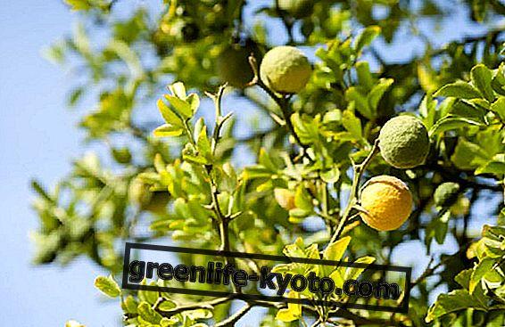 Kalabrijas bergamote, īpašības un īpašības