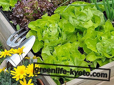 Салат: свойства, пищевая ценность, калории
