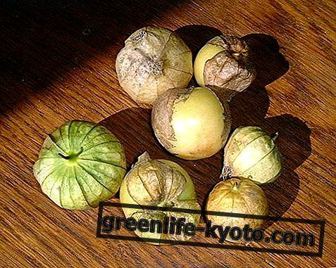 Tomatillo: īpašības, priekšrocības, kā ēst