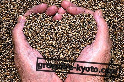 Семена конопли, свойства и как их использовать