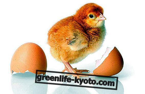 Hoe eieren vervangen?
