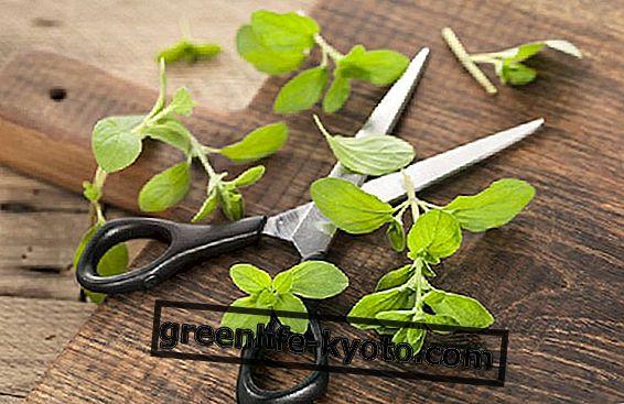 Мажуран, употреба у кухињи