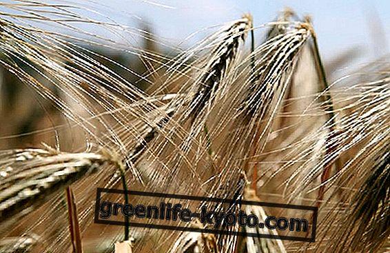 Пшеничен зародиш, мускули, витамин Е