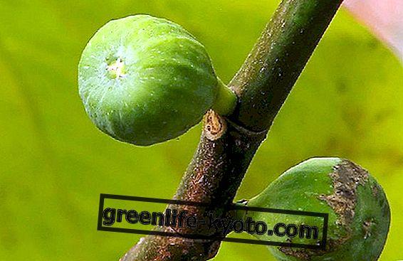 अंजीर के पेड़ के गुण