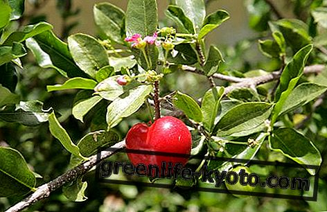 Acerola: omadused, kasu, kuidas süüa