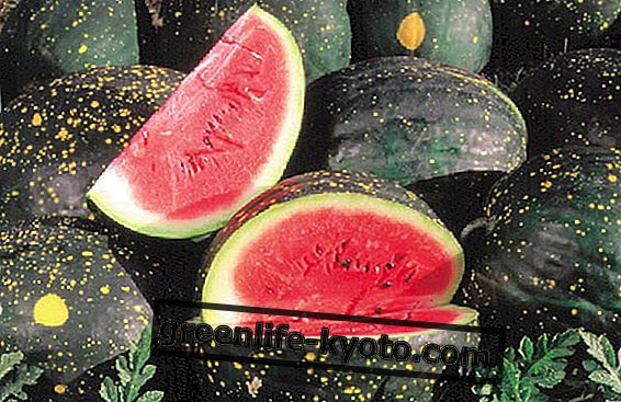 Glemte frugter: de ekstravagante vandmeloner