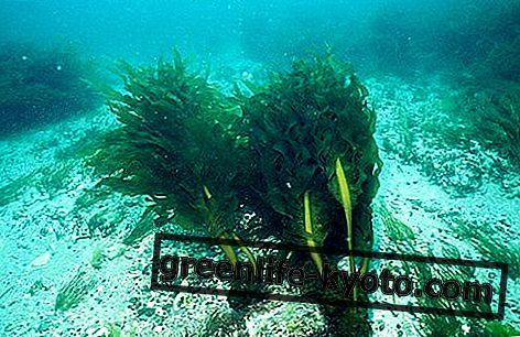 Wakame-alg: eigenschappen, gebruik en contra-indicaties