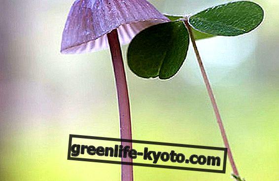 Malý průvodce pro afrodiziakální rostliny