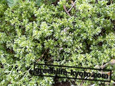 Scleranthus, alles an der Bachblüte
