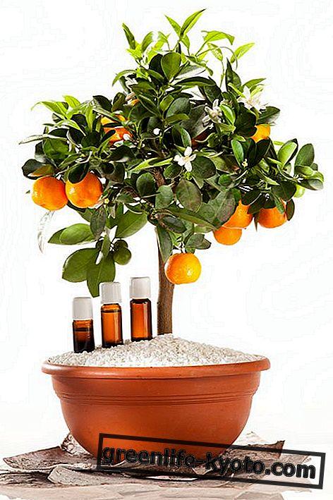 Aceite esencial de petitgrain: propiedades, uso y contraindicaciones.