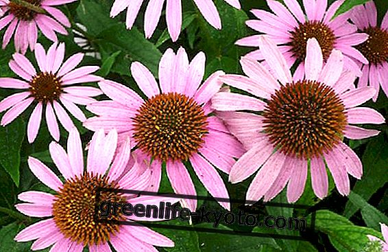 Echinacea in der Schwangerschaft: Nutzen und Kontraindikationen