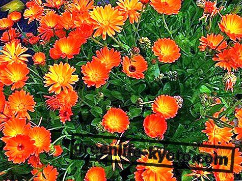 Körömvirág: tulajdonságok, használat, ellenjavallatok