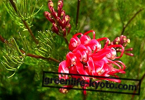 Punane Grevillea, Austraalia lille parandusvahend