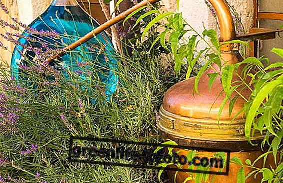 Hoe lavendel te distilleren