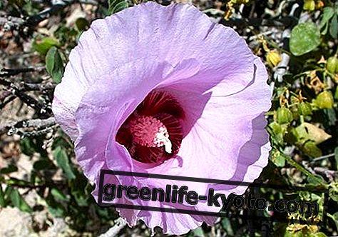 Sturt Desert Rose, australski lijek za cvijeće