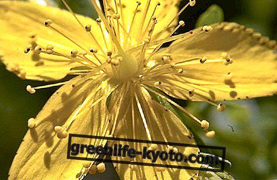 Hypericum ulje: ljekovita energija sunca, protiv opeklina i rana