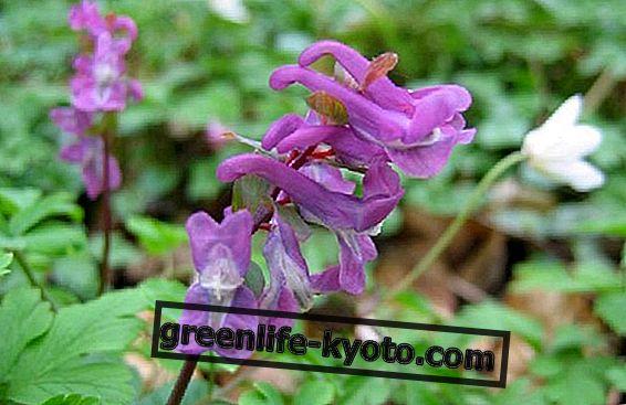 Corydalis, biljka protiv kronične boli