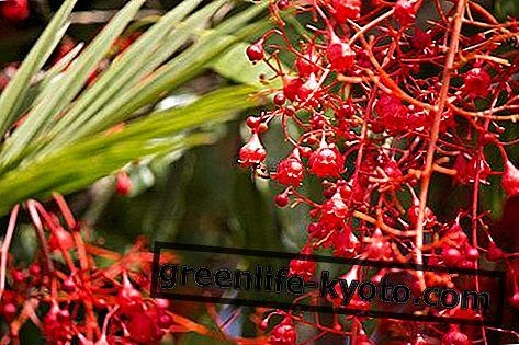 Energía, reconstituyendo las flores australianas.