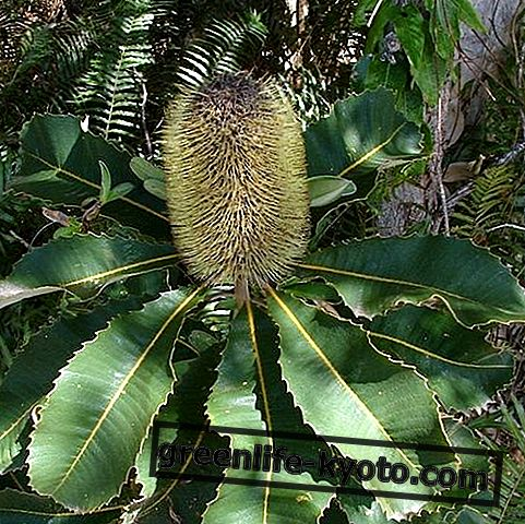 Perjalanan, Bunga Australia untuk perjalanan