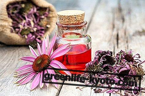 Echinacea: sifat, penggunaan, kontraindikasi