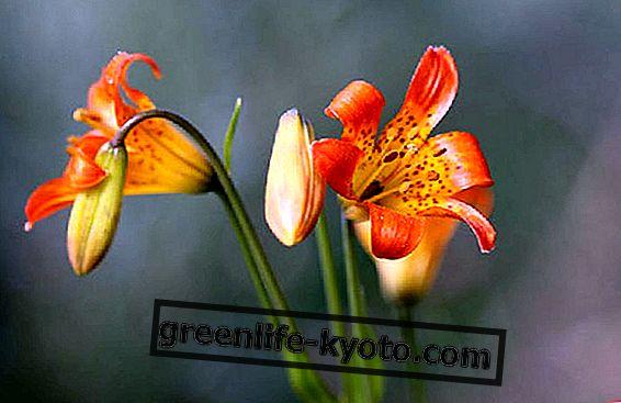Rasedus: kõige sobivamad lille essentsid
