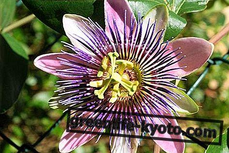 Passionsblume: Nebenwirkungen
