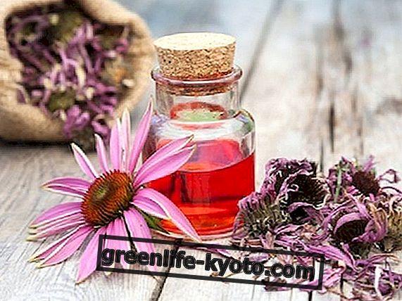 エキナセア:膀胱炎の治療薬