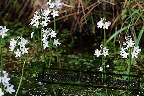 Vandens violetinė, visi Bacho gėlės