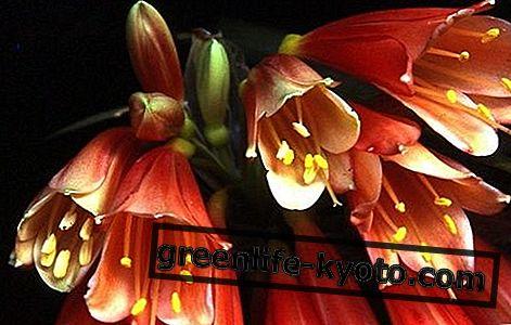Campana de Navidad, remedio floral australiano.