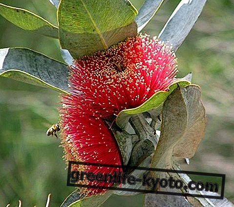 Macrocarpa, Austraalia lille parandaja