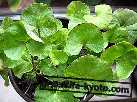 Centella mother tingtur: persiapan, sifat dan penggunaan